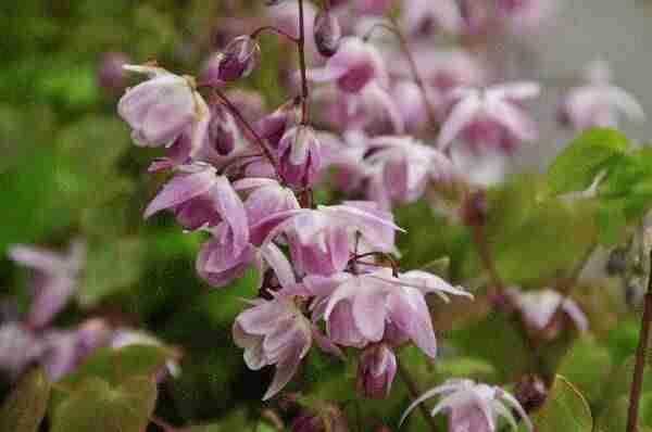 Epimedium in landelijke tuin met vrolijke kleurtjes in de voorjaarstuin