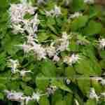tuinplant Epimedium met frisse en vrolijke kleurtjes in de voorjaarstuin met onderhoudsvriendelijke tuinplant
