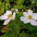 nazomeren met prachtige wit bloeiende vaste planten in hedendaagse tuin Eindhoven