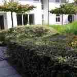 niet alleen met Buxus kan men wolkhagen maken, maar met veel meer tuinplanten- florera.nl