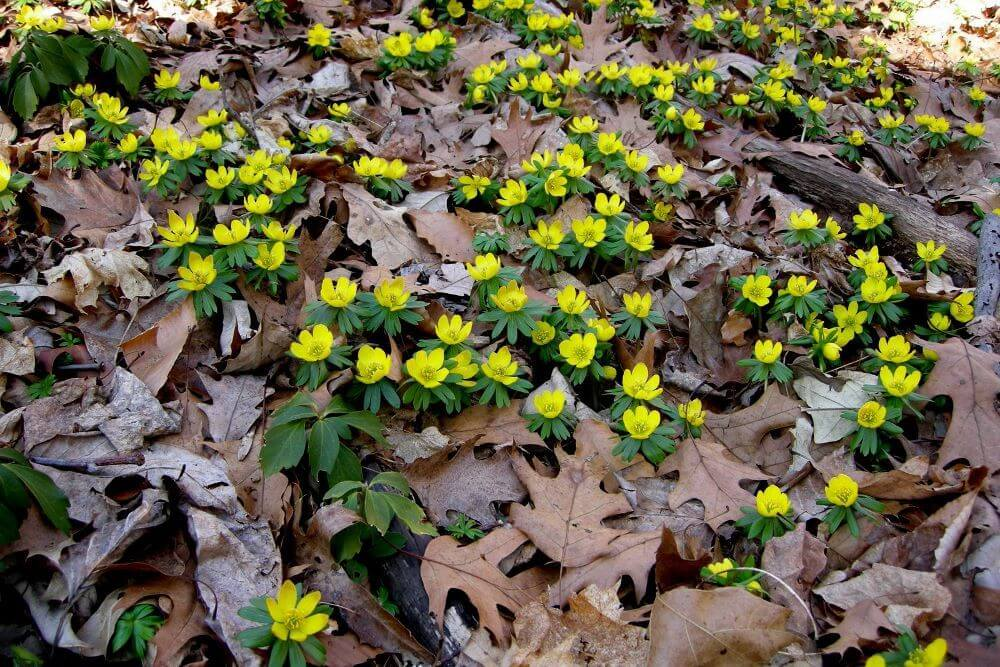 In januari, februari en maart geeft Eranthis gezelligheid in de tuin- florera.nl