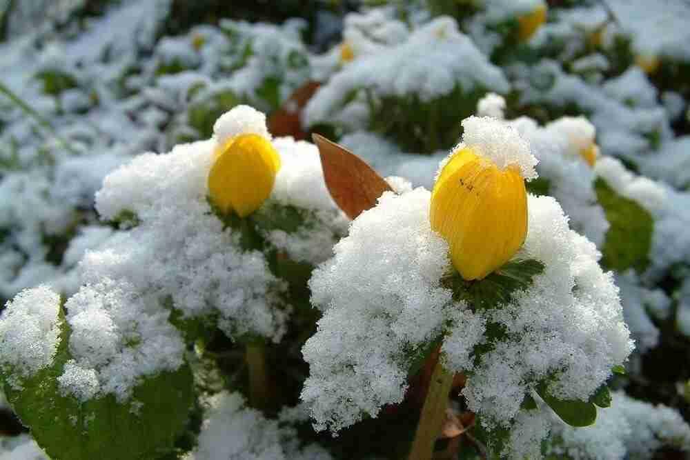 De winterakoniet is een plant die voorjaar in de tuin aankondigt