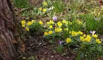 Stinzenplanten als bodembedekkers in de tuin na tuinplan Florera tuinontwerper