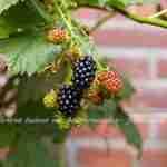 vruchten plukken in eigen tuin met tuinplan Marjan de Koning tuinontwerper Nederland