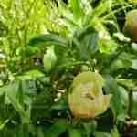 Pioenrozen in tuin die vreugde en luxe uitstraalt