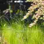 een veld van siergrassen met alliums aan de rand van bloeiende heesters- florera.nl