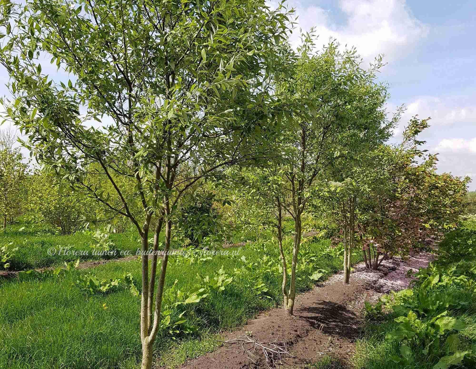Elegante boom tijdens kwekerijbezoek voor tuinklanten- florera.nl