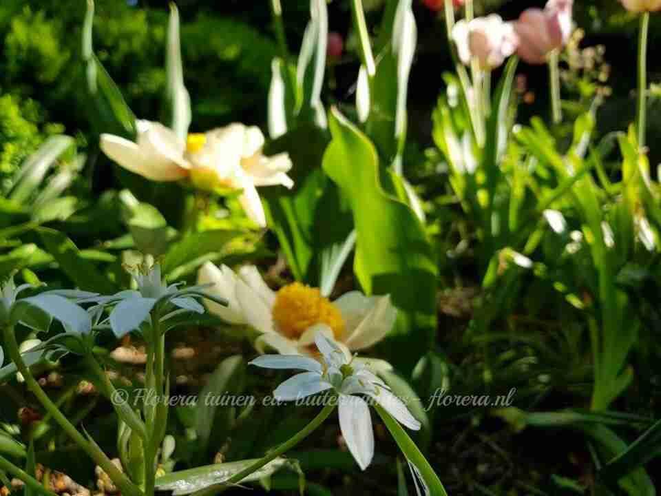 tulpen bloeien prachtig samen met andere vaste planten in tuin