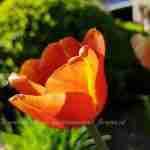 Nationale Tulpendag Amsterdam en tulpen in de tuin
