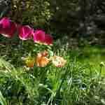 voorjaar in de tuin na tuinplan met tulpen- florera.nl