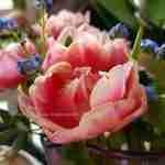 tulpen in de vaas en in de tuin- florera.nl