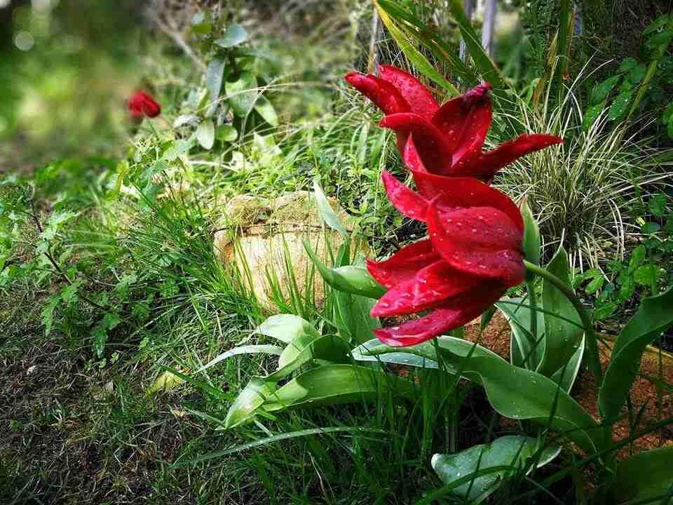 tulpen in combinatie met andere vaste planten in natuurlijke tuin- florera.nl