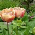 tuinontwerp stinzenplanten en tulpen- florera.nl