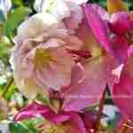 Marjan de Koning en haar voorjaarstuinen- Helleborus in de tuin