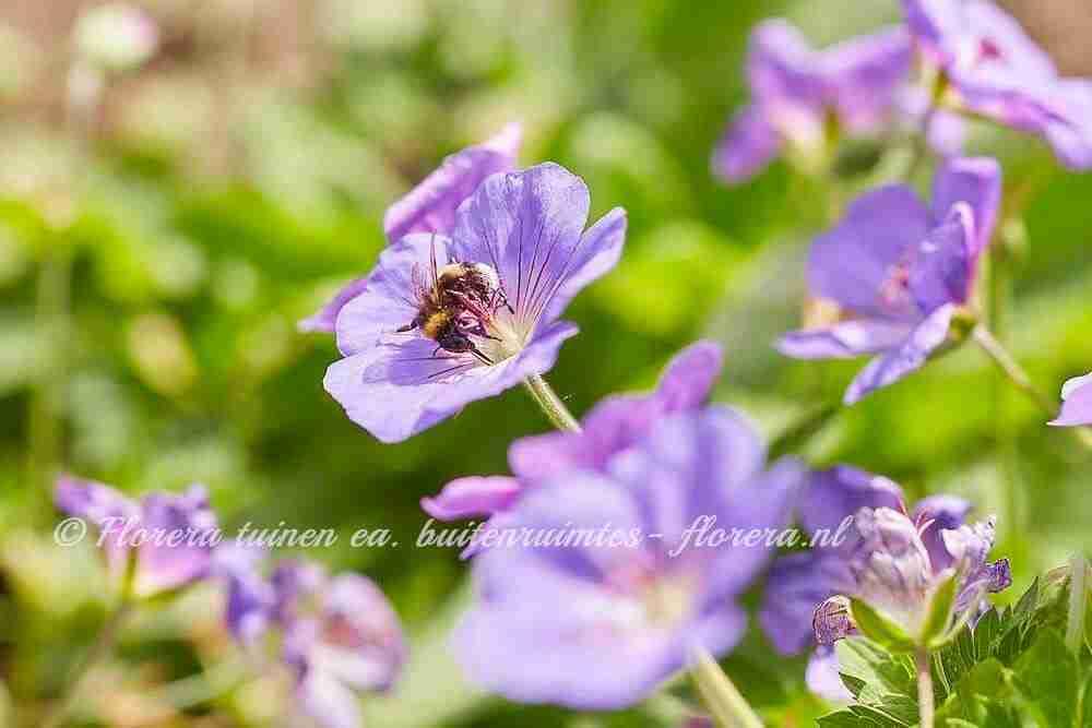 tuinontwerper eindhoven nectarplanten bijen
